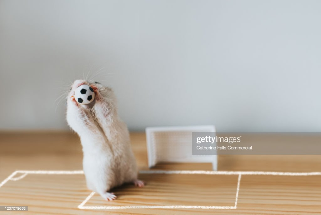 Goalie Hamster : Stock Photo