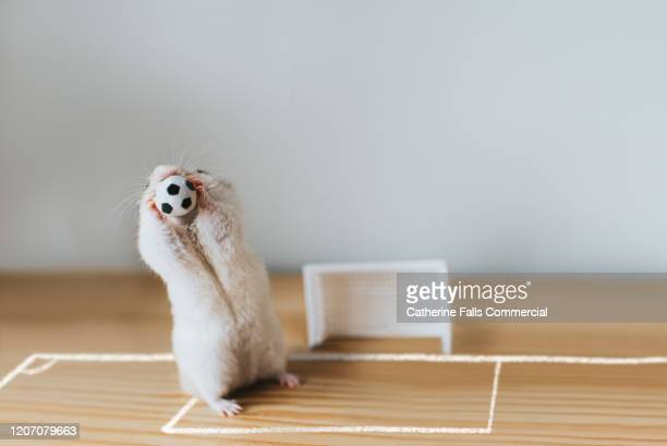 goalie hamster - the championship football league stock pictures, royalty-free photos & images