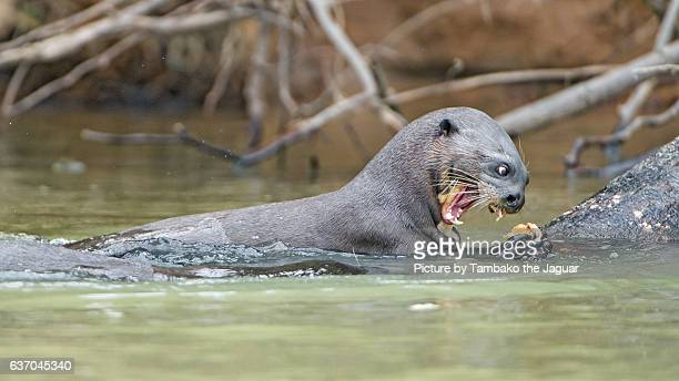 Goant otter eating fish