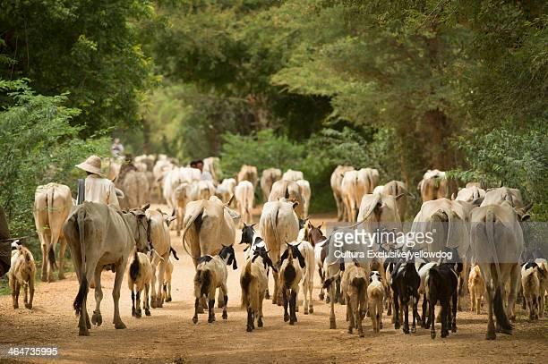 Goat and Cattle herding, Bagan, Myanmar