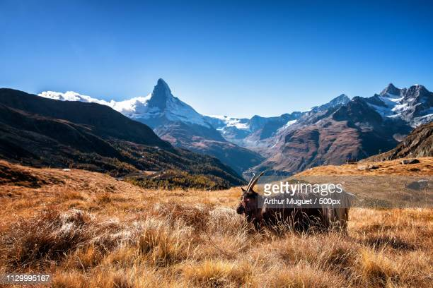 goat and matterhorn - muguet stock pictures, royalty-free photos & images