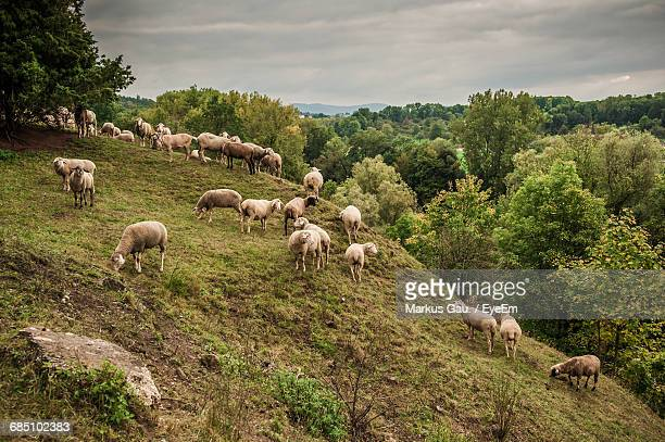 goat and sheep grazing on grassy hill by forest - hill stock pictures, royalty-free photos & images