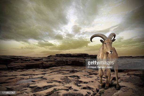 Goat and sunset