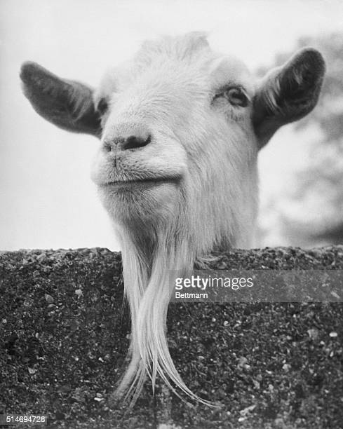 A goat at the Chessington Zoo looks over a fence at visitors