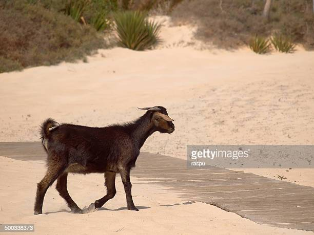 A goat at the Grandes Playas beach
