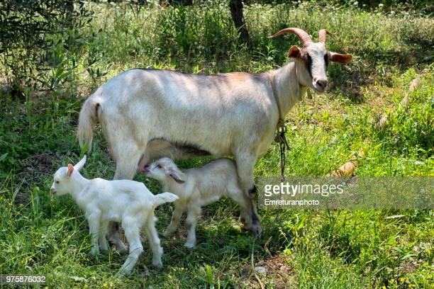 a goat breastfeeding cubs in the field. - emreturanphoto stock-fotos und bilder