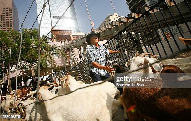 Goat breeder and rancher George Gonzales herds 100 goats onto an overgrown Bunker Hill lot at 4th and Hill Streets in downtown Los Angeles Monday...
