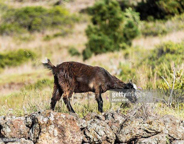 goat -capra- on a stone wall, la palma, canary islands, spain - animal digestive system stock photos and pictures