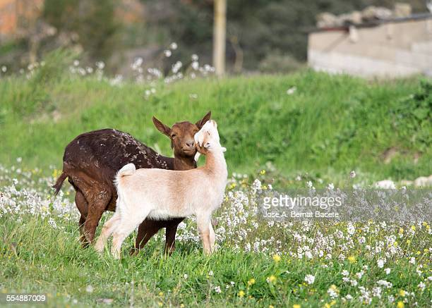 Goat caressing to his kid