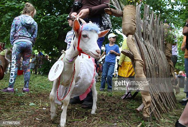 Goat 'Cibute' is presented to competition judges during a goat beauty contest in Ramygala Lithuania on July 20 2015 Ramygala was called the capital...
