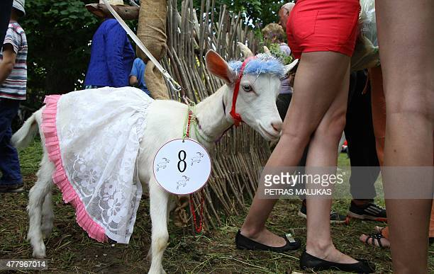 Goat Cibute is presented to competition judges during a goat beauty contest in Ramygala Lithuania on July 20 2015 Ramygala was called the capital of...
