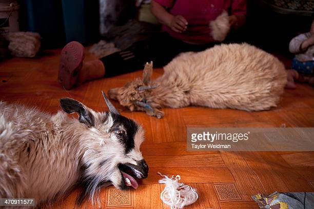 A goat cries as cashmere is brushed from its coat One goat usually yields about 250 grams of cashmere On the Chinese market where most Mongolian...