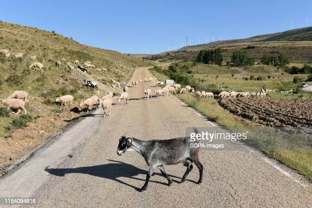 A goat crosses a road at the 'Oncala' mountain near a small village in Las Aldehuelas This region as deserted as Siberia is Europes largest desert in...