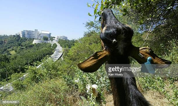 A goat dines on leaves of a scrub oak North of the Getty Museum For the second year the Getty has brought in nearly 300 goats to help clear 8–acres...