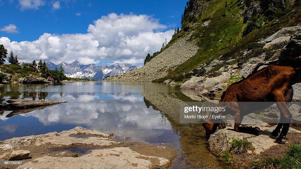 goat drinking water by lake stock photo getty images