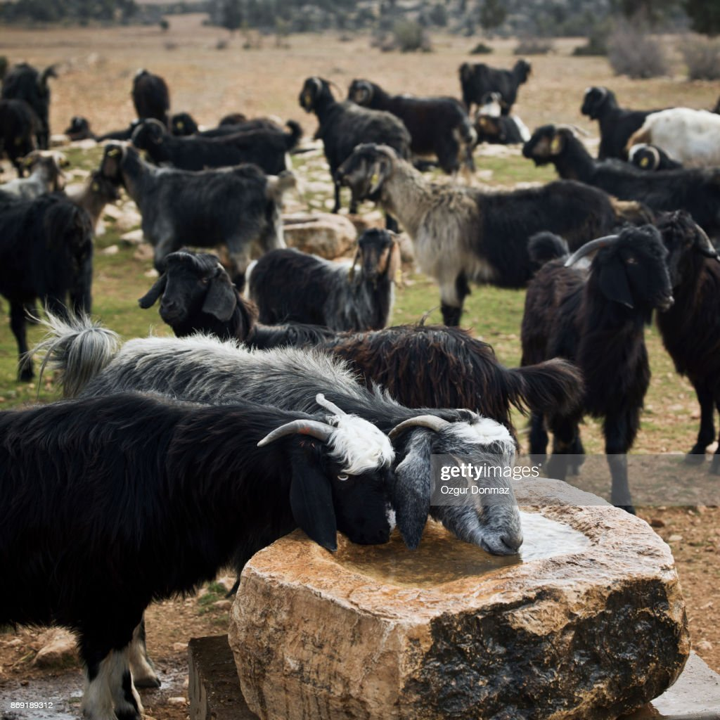 goat drinking water stock photo getty images