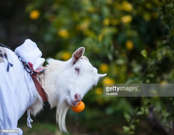 柑橘類のファームでオレンジを食べるヤギ