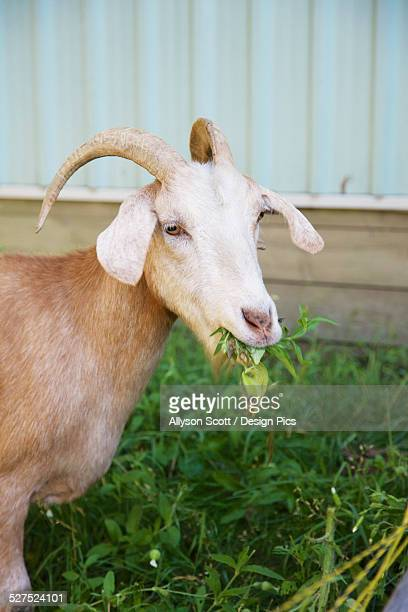 Goat eating grass on a farm