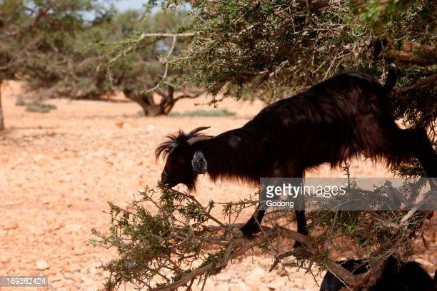 Goat eating leaves of an argan tree Morocco