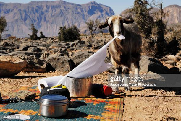 a goat eats paper on a campsite in the desert - funny toilet paper ストックフォトと画像