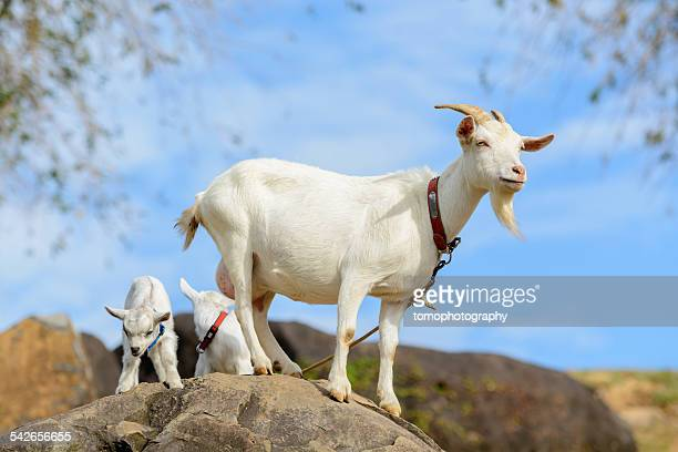 goat family - goats stock pictures, royalty-free photos & images