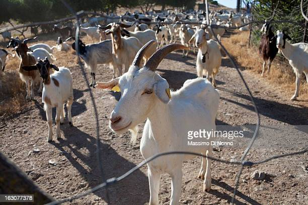 Goat farm in the countryside of Oristano on July 09 2013 in Province of Medio Campidano Italy