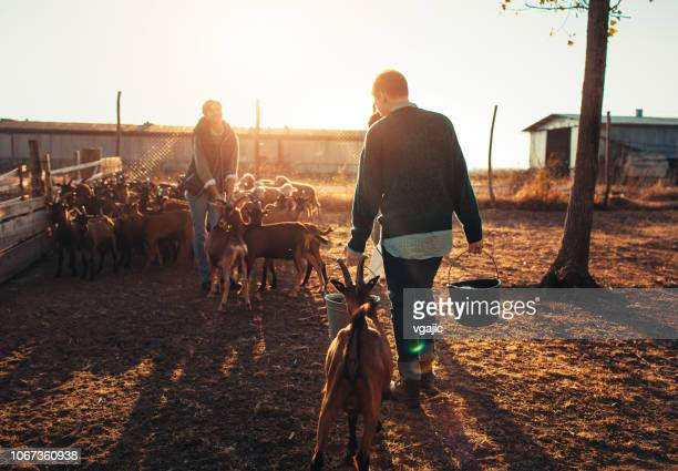 goat farm - milk pack stock photos and pictures