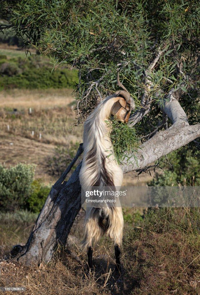 A goat feeding from a tree in Aegen Turkey. : Stock Photo
