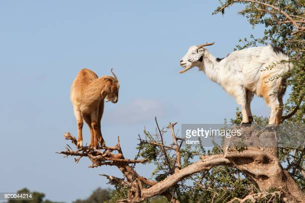 goat feeding in argan tree. marocco - argan tree stock pictures, royalty-free photos & images