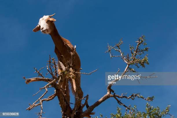 Goat feeding in argan tree view from below. Marocco