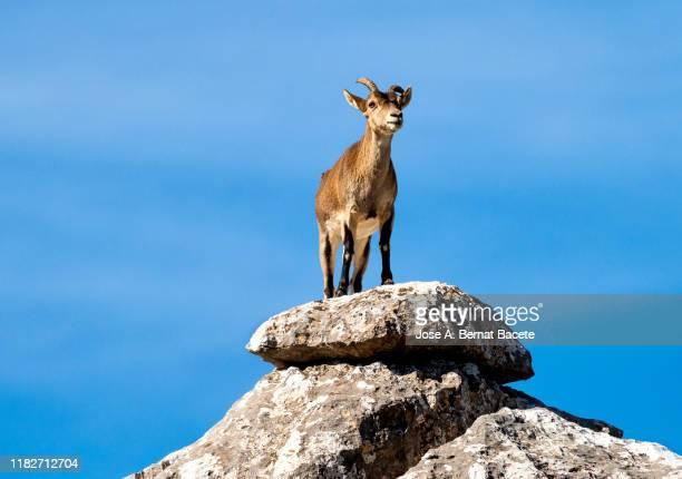 goat female spanish ibex (capra pyrenaica) in a rocky landscape of torcal de antequera, andalusia, spain - animal macho fotografías e imágenes de stock