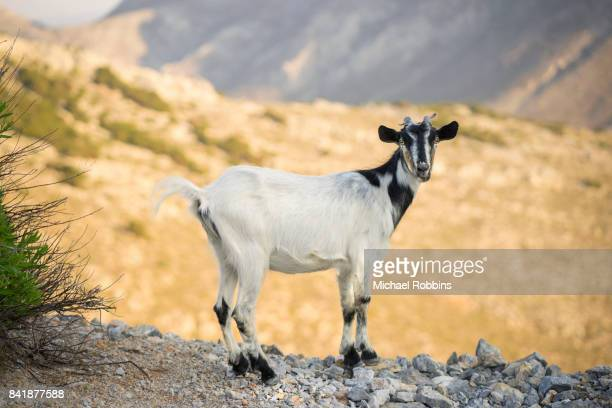 Goat Flock