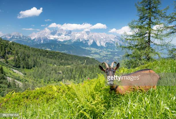 Goat grazing in front of the famous Glacier Dachstein Mountains, Schladming, Austria