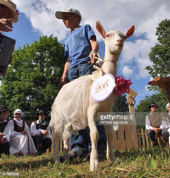 Goat Gulbe is presented to competition judges during a goat beauty contest in Ramygala Lithuania on July 20 2015 Ramygala was called the capital of...