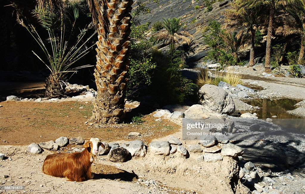 Goat having a rest at Balad Sayt : Stock Photo