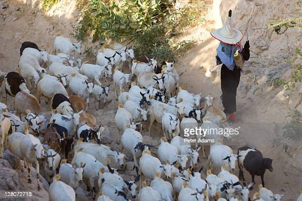 goat herder, al wadi dawan, yemen - peter adams stock pictures, royalty-free photos & images