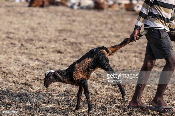 A goat herder drags one of the herd by the leg on the proposed site of the Andhra Pradesh state capital 'Amaravati' near Uddandarayunipalem Andhra...