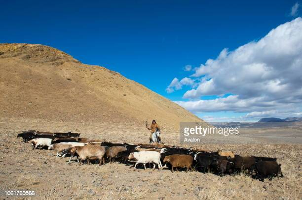 Goat herder with goats near the Sagsai River in the Sagsai Valley in the Altai Mountains in the Bayan-Ulgii Province in western Mongolia.