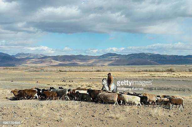 A goat herder with goats near the Sagsai River in the Sagsai Valley in the Altai Mountains in the BayanUlgii Province in western Mongolia