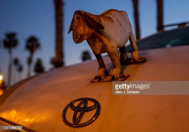 February 05: A goat hood ornament adorns the hood of The Goatfather Dana McGregors car, who is the owner of The Surfing Goats of Pismo Beach, after...