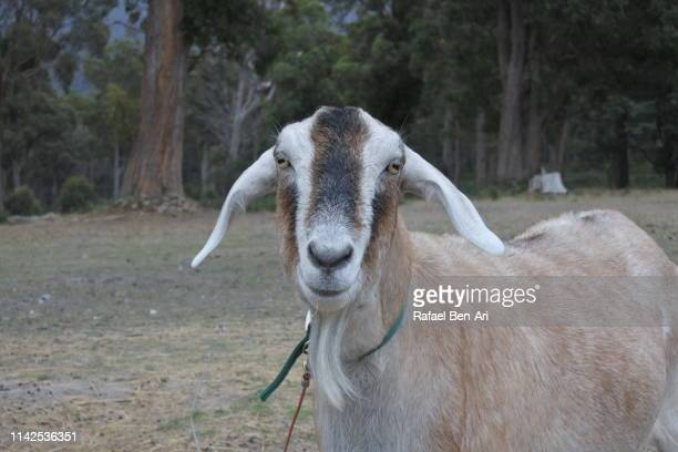 goat in a farm - rafael ben ari stock pictures, royalty-free photos & images