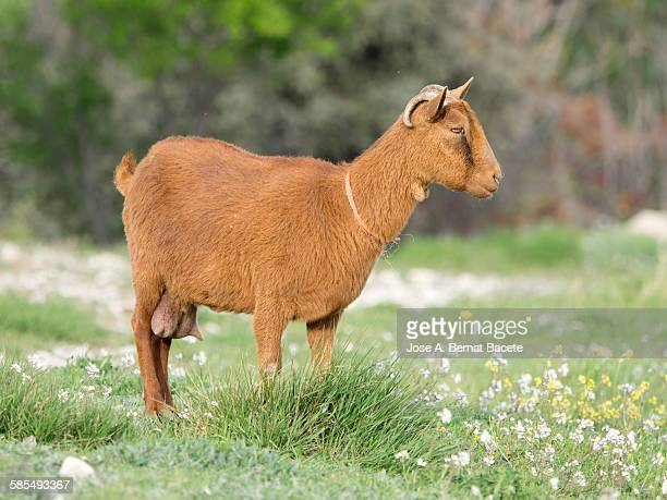 Goat in a field of grass in spring