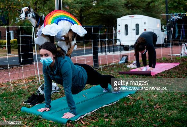Goat in rainbow costumes stands on the back of a woman doing a yoga pose during a Halloween costume goat yoga event, with goats from the Walnut Creek...