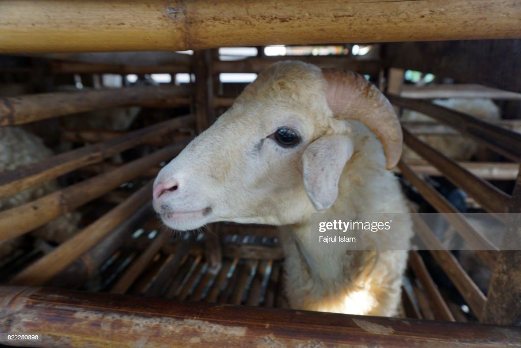 Goat in the cage : Stock Photo