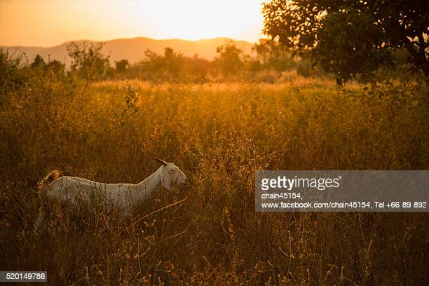 Goat in the field during summer sunset in Thailand.