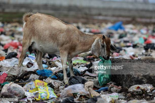 A goat is foraging for food inside a plastic bag at Slum Area in Jakarta Indonesia on February 15 2019