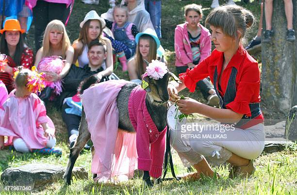 A goat is made ready for the competition during a goat beauty contest in Ramygala Lithuania on July 20 2015 Ramygala was called the capital of Goats...