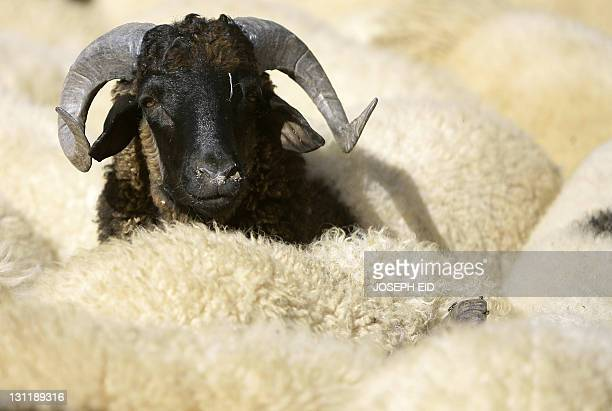 A goat is pictured in a Tripoli Libya market on November 2 ahead of the Muslim Eid alAdha festival celebrated by Muslims across the world to mark the...