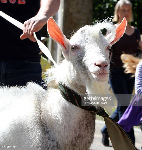 A goat is presented to competition judges during a goat beauty contest in Ramygala Lithuania on July 20 2015 Ramygala was called the capital of Goats...