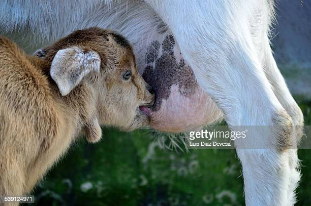 A goat kid feeding on its mother's milk